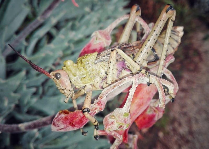 Locusta sul fiore di Succulant fotografie stock