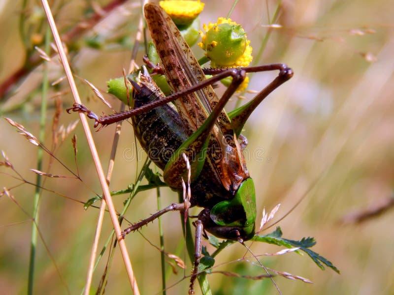 Locusta sull'erba fotografia stock