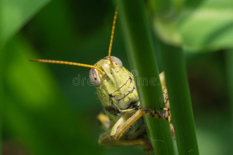 Locusta sulla lama di erba alta fotografia stock