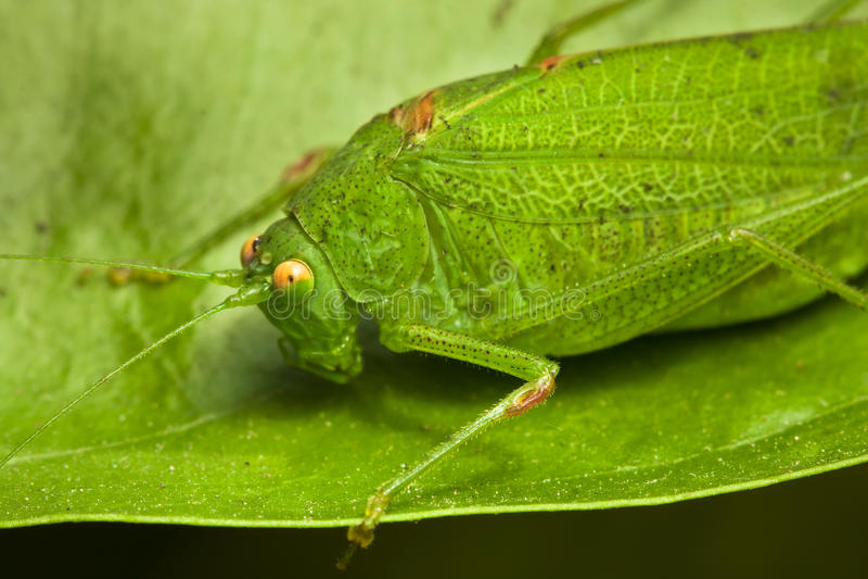 Locusta verde immagini stock libere da diritti