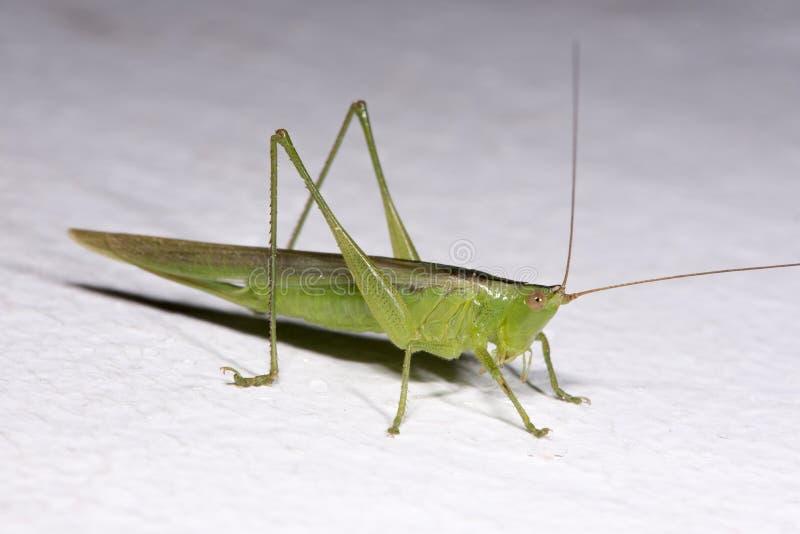 Locusta verde fotografie stock