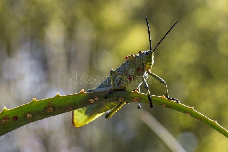 Locusta verde del Milkweed fotografia stock
