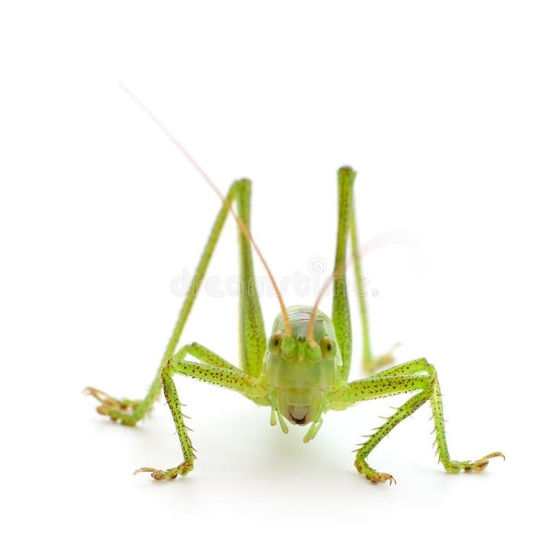 Locusta verde isolata immagini stock libere da diritti