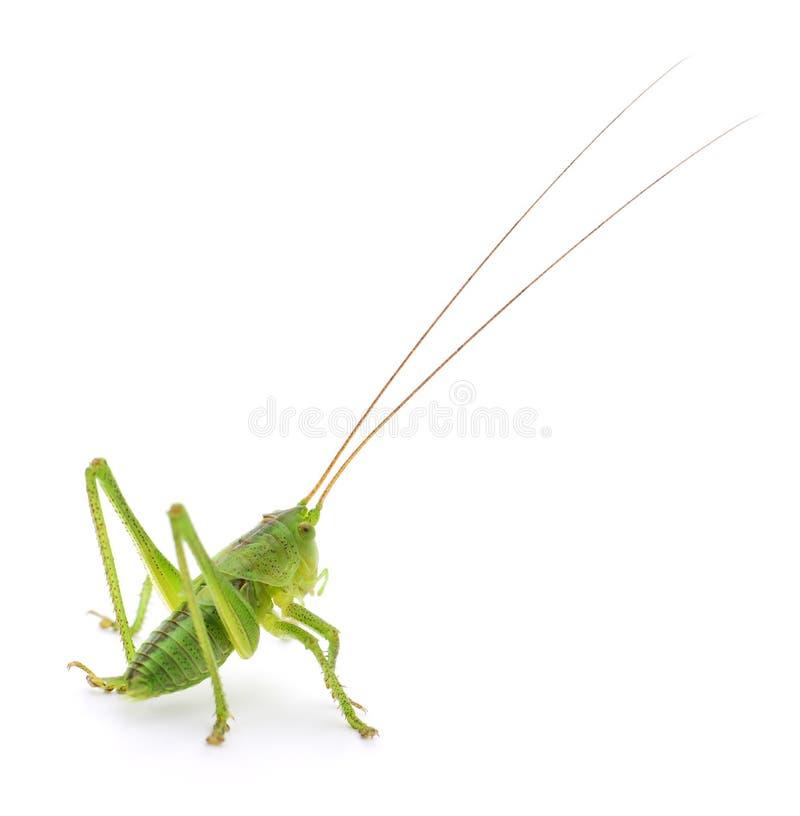 Locusta verde isolata immagini stock