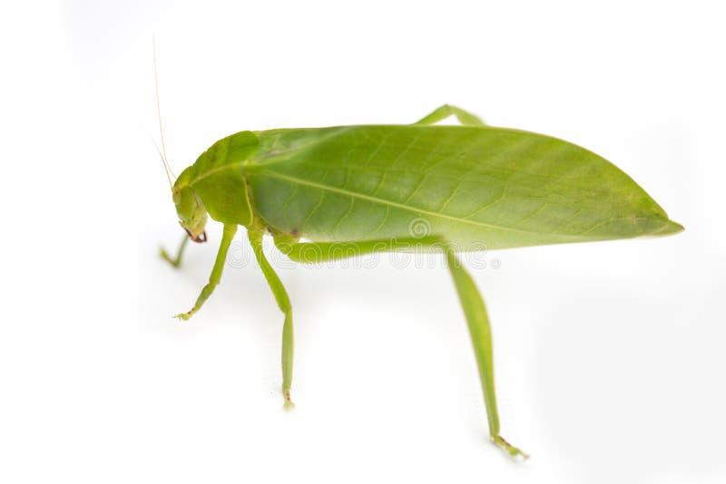 Locusta verde isolata su fondo bianco, cavalletta, insetto fotografia stock libera da diritti