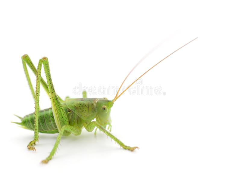 Locusta verde isolata immagine stock