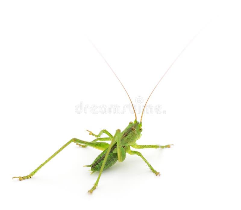 Locusta verde isolata fotografia stock