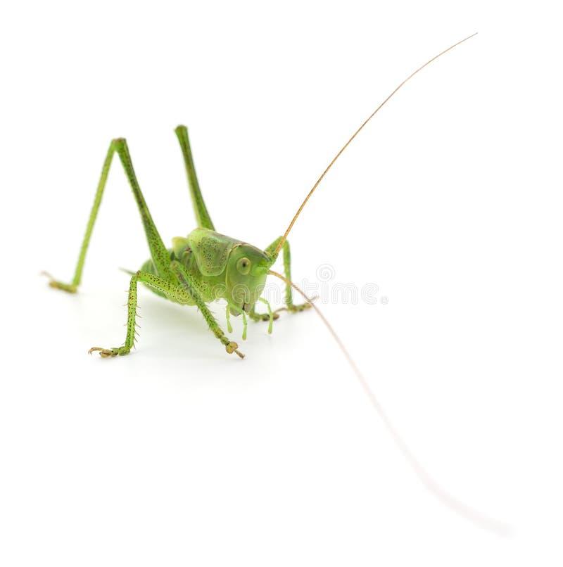 Locusta verde su bianco immagini stock libere da diritti