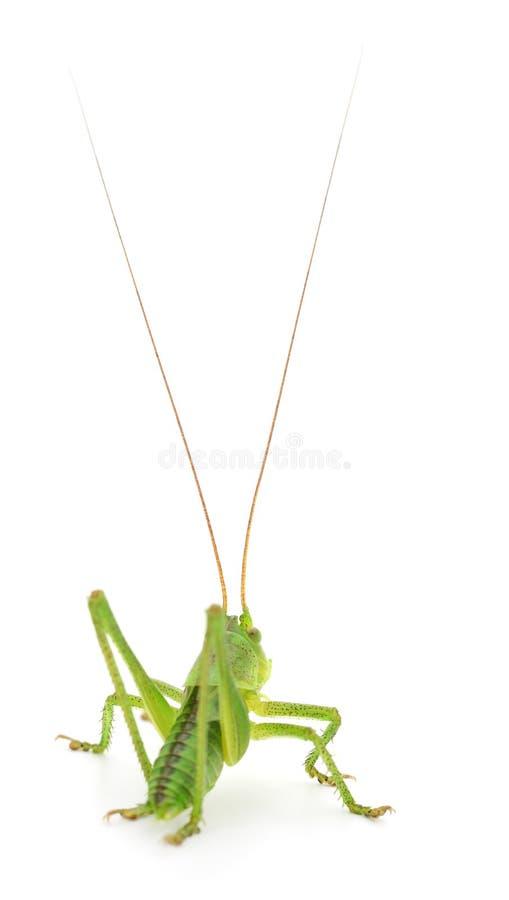 Locusta verde su bianco immagine stock