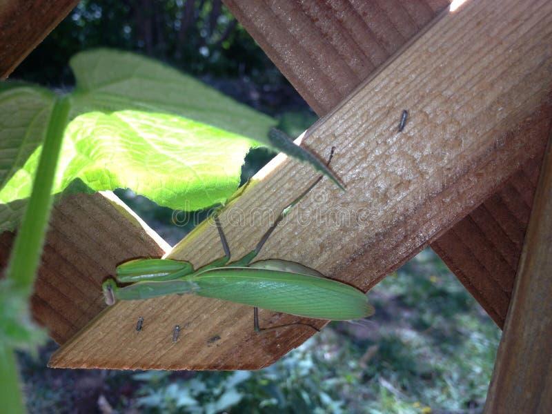 Locusta verde su un fondo di legno immagine stock libera da diritti