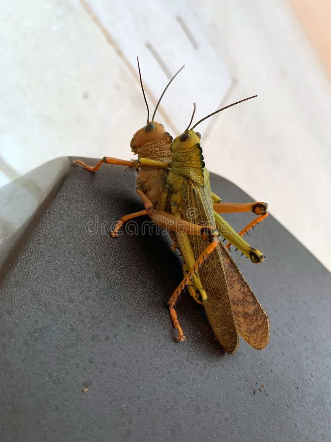 Free Locusts Crickets Grasshoppers Mating Royalty Free Stock Photos - 155416688