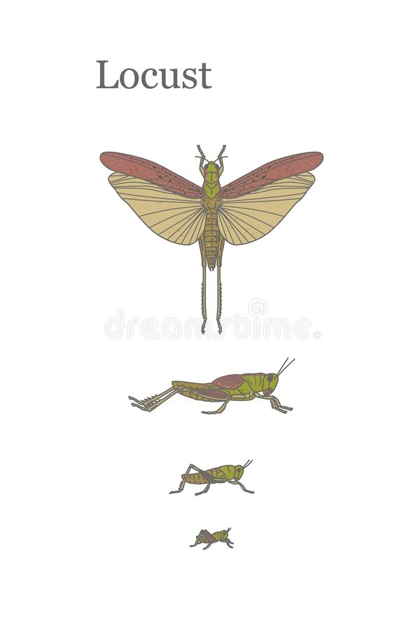Locusts - fairly large insect that can damage crops in the fields. Vector illustration The life cycle of Locusts stock illustration