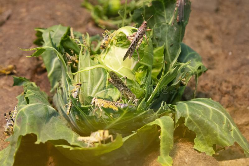 Locusts, grasshopper eating and destroying leaves of a cabbage royalty free stock photos