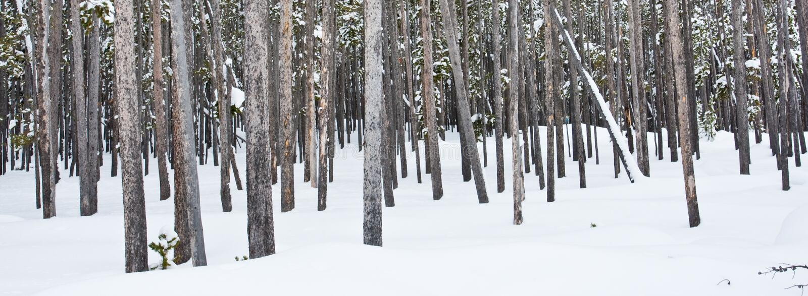 Download Lodgepole Pine Royalty Free Stock Photography - Image: 18070917