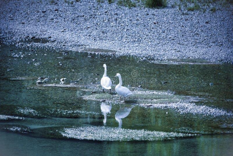 Lodi Itália: cisnes no rio de Adda fotografia de stock royalty free