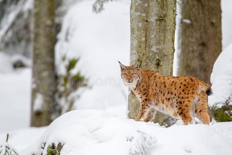 Lodjur för Eurasianlodjurlodjur arkivfoton