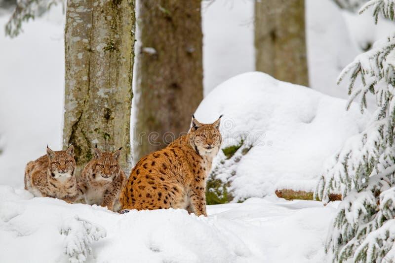 Lodjur för Eurasianlodjurlodjur royaltyfri foto