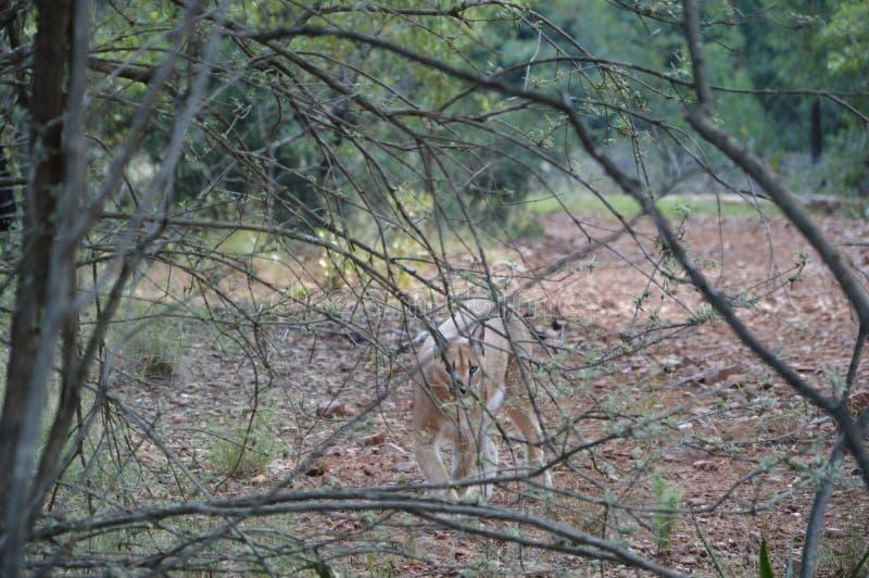 Lodjur i naturen - Sydafrika royaltyfri foto