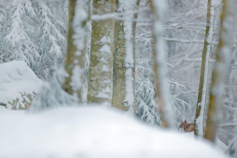 Lodjur som döljas i lodjur för snöskogEurasian i vinter Natur för djurlivplatstjeck Snöig katt i naturlivsmiljö Skogmiljö arkivbilder