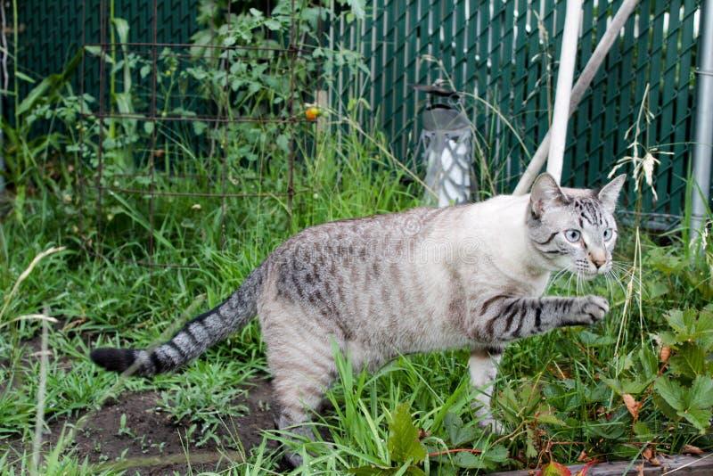 Lodjurpunkt Siamese Cat Outside arkivbild