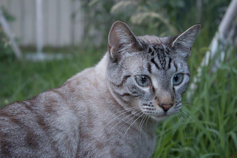 Lodjurpunkt Siamese Cat Outside arkivfoton