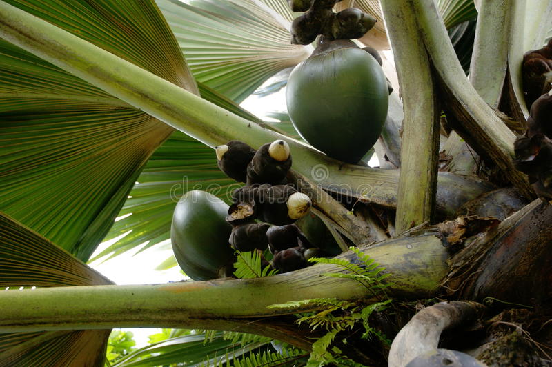 Lodoicea havskokosnöt, coco de mer, dubbel kokosnöt, Lodoicea maldivicacloseup arkivfoton