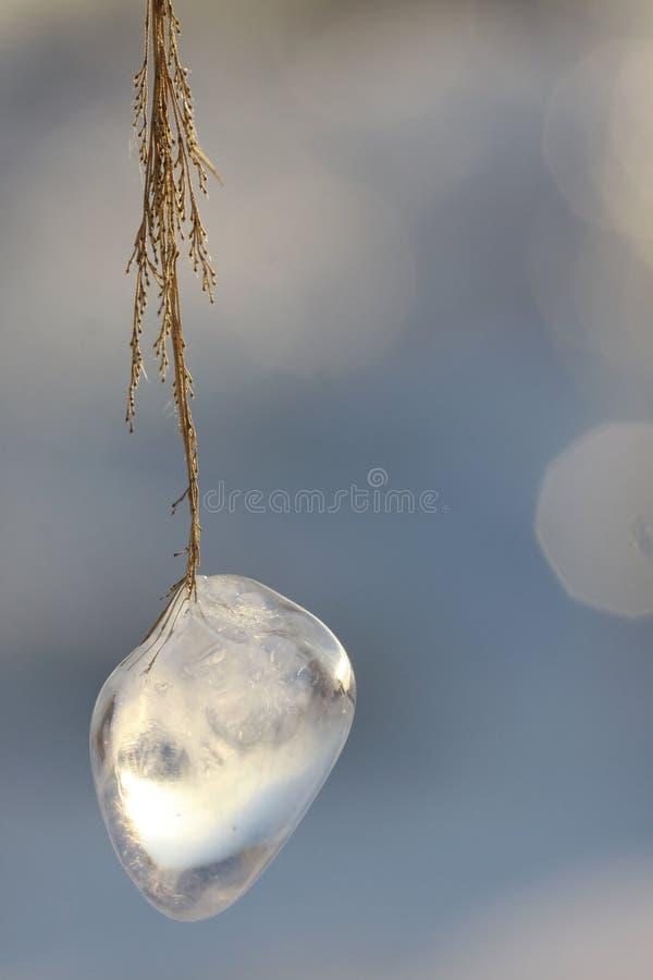 lodowa roślina zdjęcie royalty free