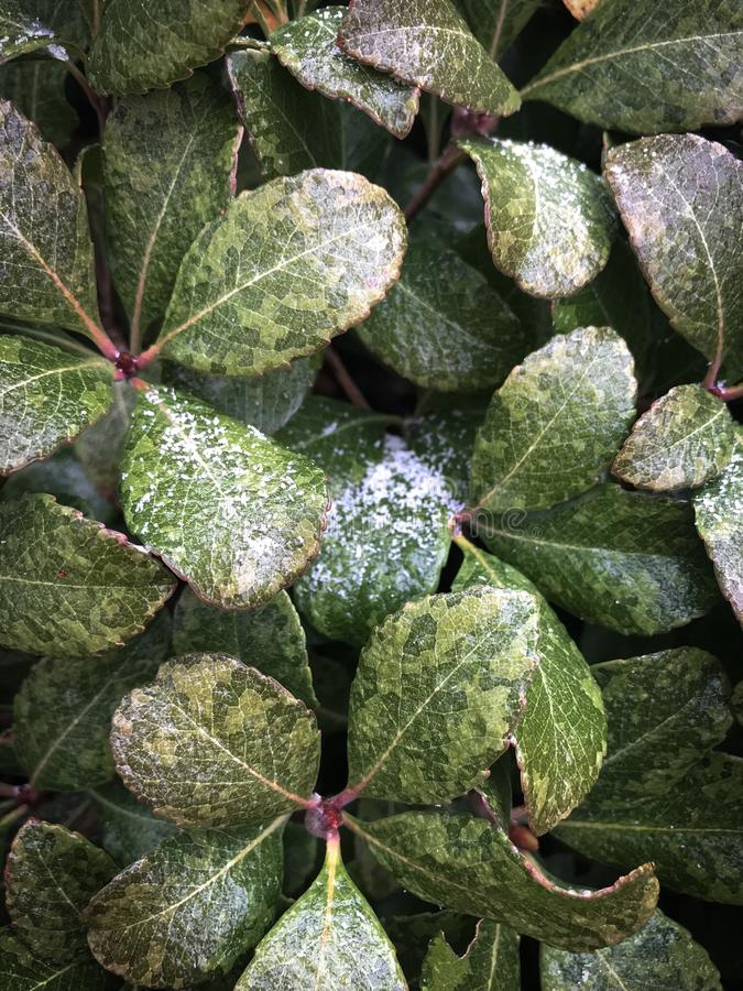 Lodowaci zima liście zdjęcie stock