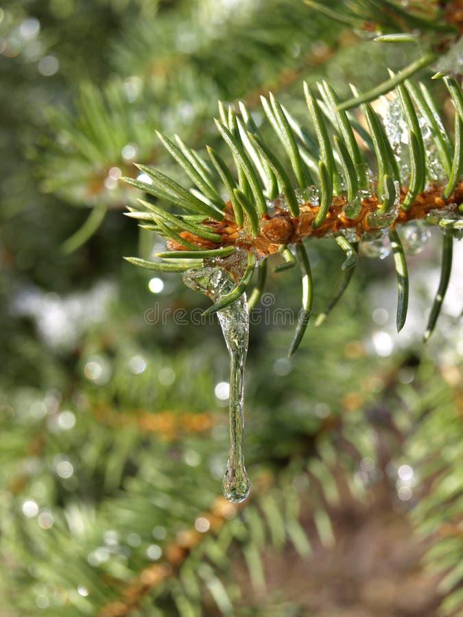 Lodowy stapianie na sosnowych igłach w lesie obrazy stock