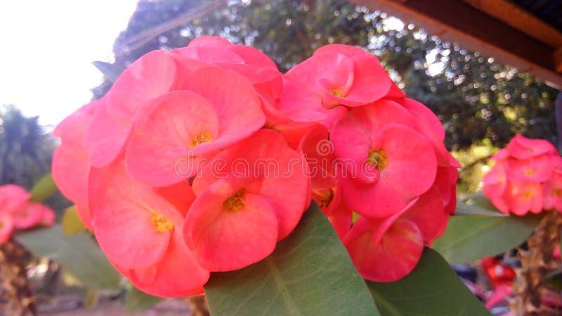 Loei vermelho da natureza da flor imagem de stock