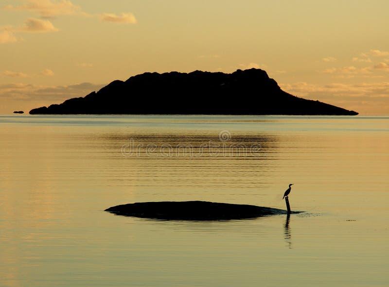 Lofoten's cormorant. Cormorant enjoying the sunset's light of october in a calm Lofoten's fjord stock image