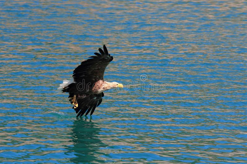 Lofoten`s eagle diagonally flying on surface. Sea eagle diagonally flying on surface of waters of Lofoten islands, arctic archipelago situated in northern Norway stock image