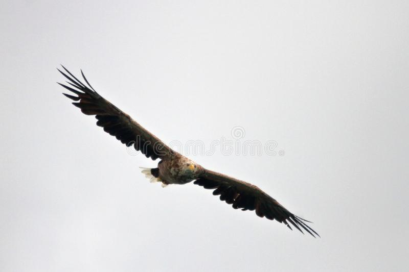 Lofoten`s eagle gliding high in a grey sky. Sea eagle gliding high in the grey sky of Lofoten islands, arctic archipelago situated in northern Norway stock photo