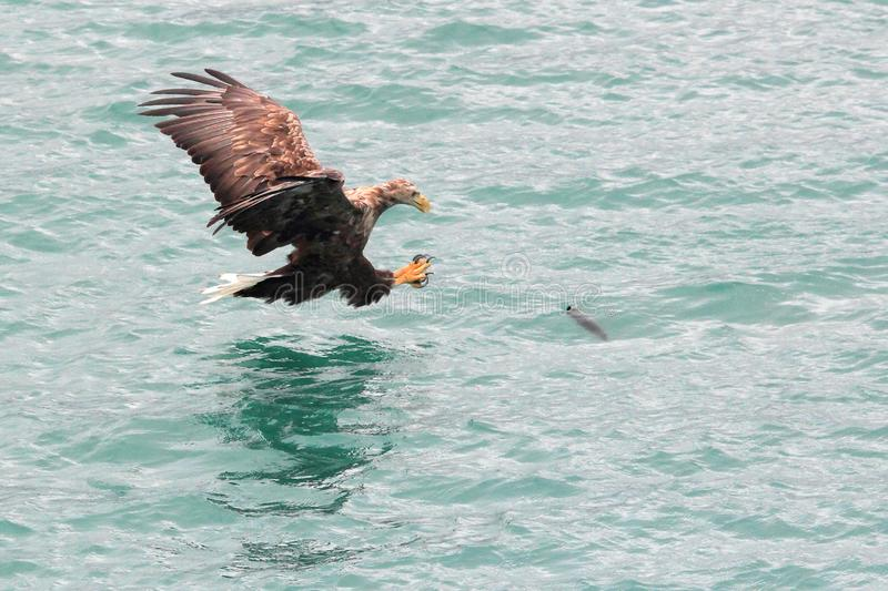 Lofoten`s eagle landing on a cod in turquoise waters. Sea eagle landing on a cod in Lofoten islands, arctic archipelago situated in northern Norway royalty free stock images