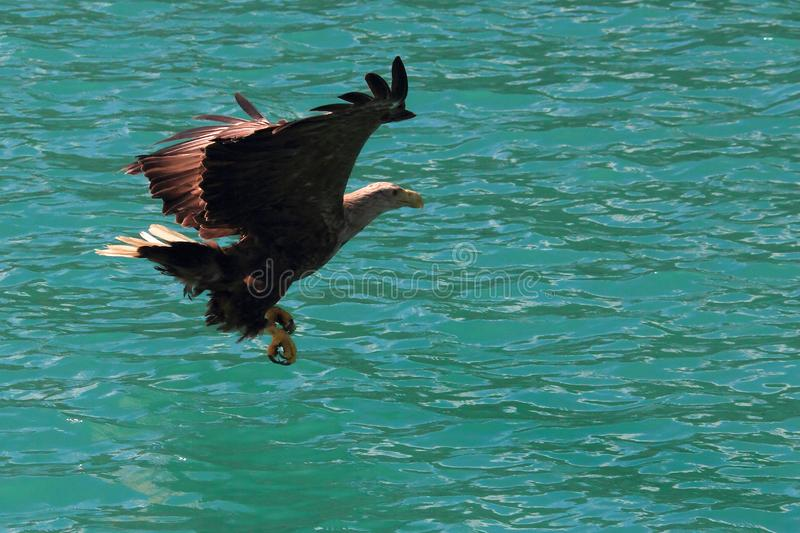 Lofoten`s eagle almost sitting on a cod in turquoise waters. Sea eagle landing on a cod in Lofoten islands, arctic archipelago situated in northern Norway royalty free stock images