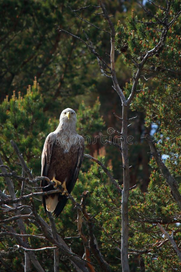 Lofoten`s eagle watching at me. Sea eagle resting on a pine branch in Lofoten islands, arctic archipelago situated in northern Norway royalty free stock photo