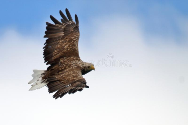 Lofoten`s eagle in white and blue. Sea eagle gliding high in the blue and white sky of Lofoten islands, arctic archipelago situated in northern Norway stock images