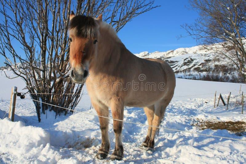 Lofoten's horse. A pony in a snowy field of lofoten islands stock image