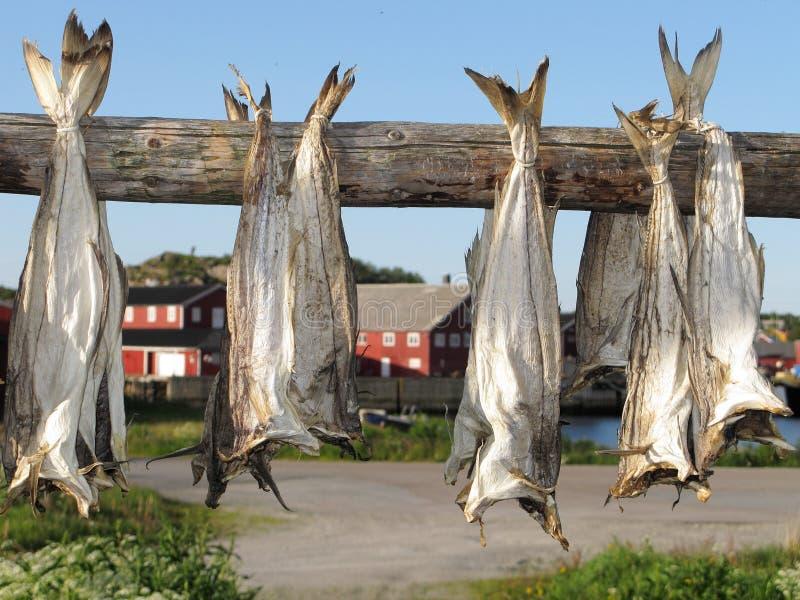Lofoten stockfish drying royalty free stock photo