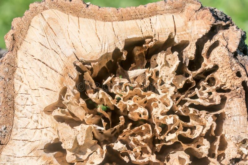 Log danificado por um sem-fim madeira, grandes besouros nela imagens de stock royalty free
