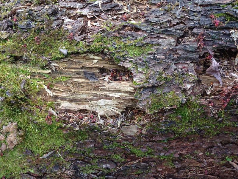 Log de madeira Rotted imagem de stock