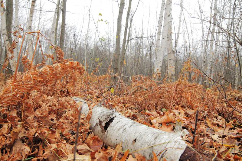 Log in Leaves. Birch log laying in brown leaves royalty free stock photos