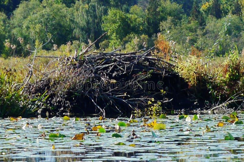 Loge de castor dans le lac Burnaby photos libres de droits