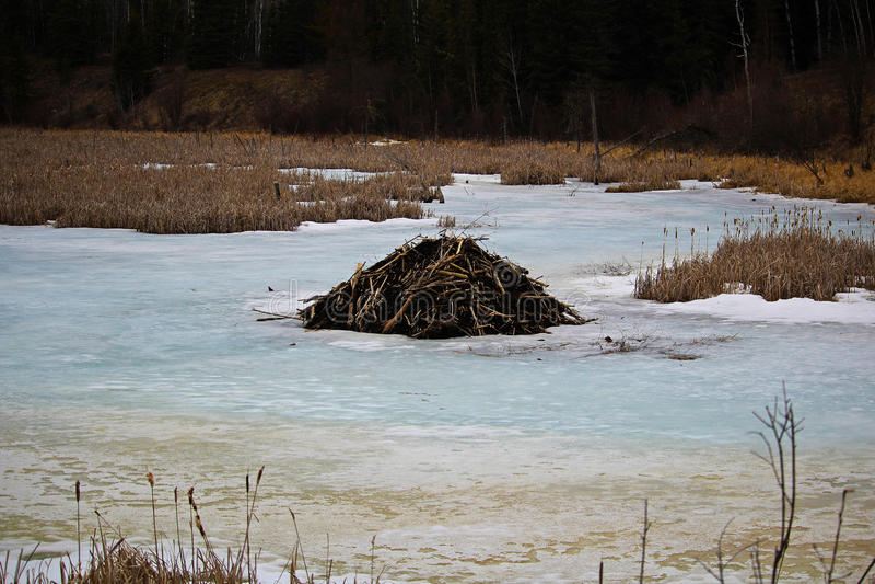 Loge de castor sur un étang congelé photo stock