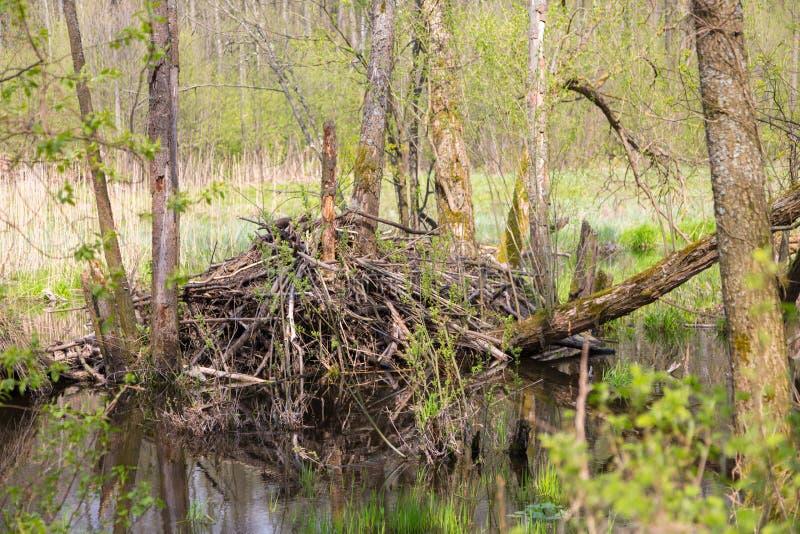 Loge de castors dans le printemps photographie stock libre de droits
