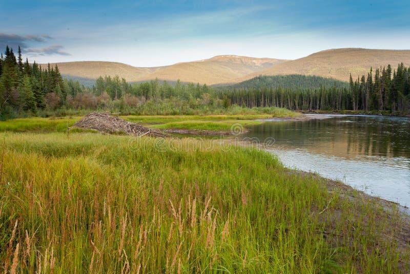 Loge för bäverCastorcanadensis i taigavåtmarker arkivbilder