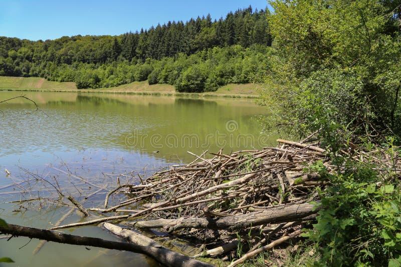 Logement de castors Castors insistant sur un lac de forêt photos libres de droits