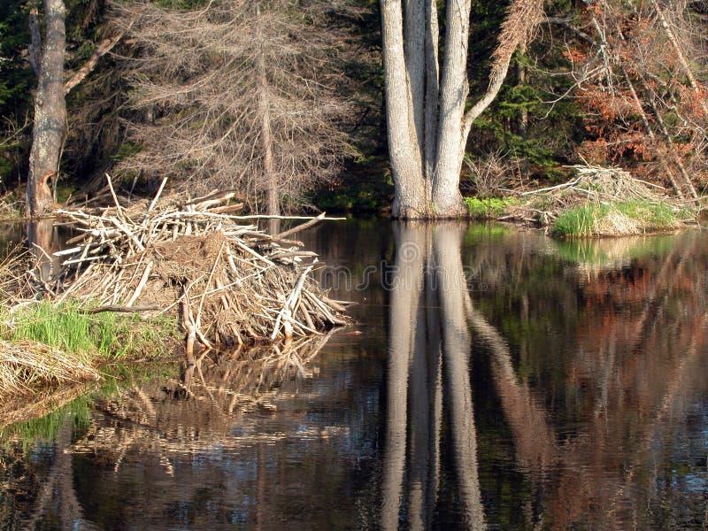 Loges de castor dans un étang photographie stock libre de droits