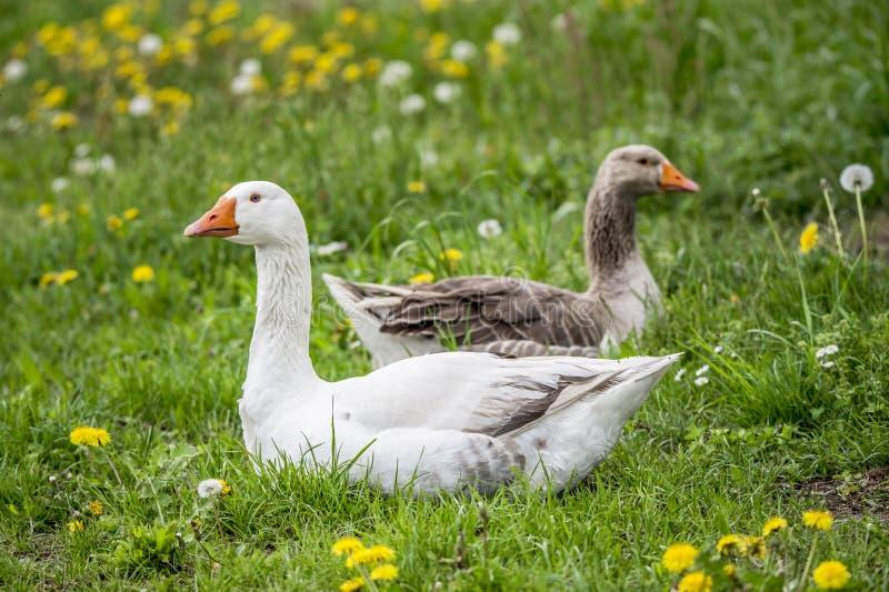 Logez l'oie et l'oie grise se trouvant dans le pré entouré en soufflant le hawkbit photos libres de droits