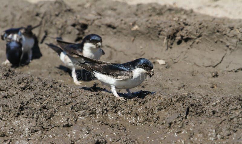 Logez l'urbica de Martin Delichon rassemblant la boue pour faire leurs nids photo stock